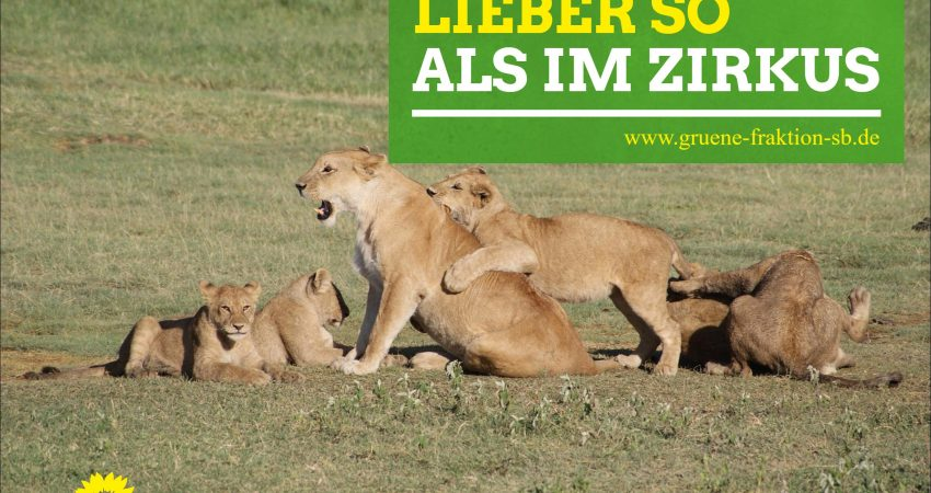 Löwen im freier Wildbahn